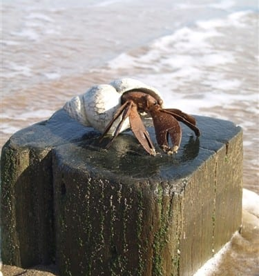 Henry Hermit Crab